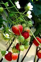 Strawberry fruits ´Mount Everest´.