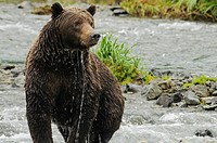 Female Grizzly Shedding Water Geographic Creek, Katmai National Park Alaska