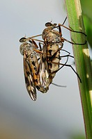 Horse-flies mating.