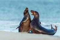 Grey Seal, Halichoerus grypus, Pair Fighting in Mating Season, Europe.