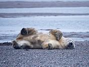 Alaska Arctic Polar Bears and Cubs.
