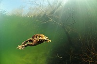 European toads mating in a French lake. Bufo bufo.