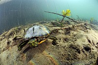 Invasive turtle imported from America in a lake of France. Trachemys scripta.