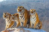 China, Harbin, Siberian Tiger Park, Siberian Tiger (Panthera tgris altaica).