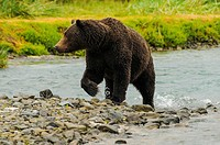 Grizzly Female Emerging from Salmon Stream Katmai N. Pk Ak.