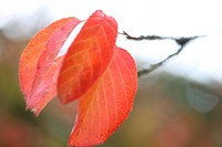 beautiful prunus ichico japanese cherry red autumn leaves on its branch.