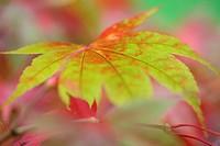 Acer Palmatum Amoenum, stunning autumn colour change.