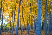 Poplar trees forest in Autumn. Castillejo de Mesleon, Segovia province, Castilla Leon, Spain.