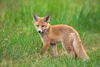 Red fox cub (Vulpes vulpes) in grass, Germany.