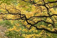 Cork tree branches, Arnold Arboretum, autumn, Boston, Massachusetts, USA
