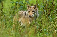 European Gray Wolf, Canis lupus lupus, Germany.