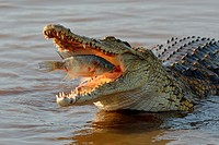 Nile crocodile (Crocodylus niloticus), devouring a fish still alive, Sunset Dam, Kruger National Park, Mpumalanga, South Africa, Africa.