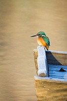 Common Kingfisher (Alcedo atthis) female perched on wooden boat. Lower Silesia. Poland.