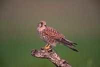 kestrel (Falco tinnunculus). Photographed in Toledo.