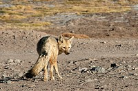 Adult culpeo or Andean fox (Dusicyon culpaeus), Nevado Tres Cruces National Park, Atacama Region, Chile