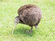 North Island Brown Kiwi (Apteryx mantelli). Whangarei Native Bird Recovery Centre. Whangarei, New Zealand. Called Sparky, this Kiwi has only one leg a...