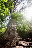 Giant pine tree in Els Ports Natural Park, Tarragona province, Catalonia, Spain