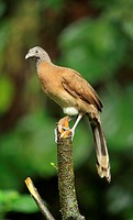 Grey-headed chachalaca (Ortalis cinereiceps) in the jungle, Peninsula de Osa, Costa Rica.