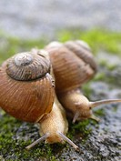 Two garden snails, Helix aspersa.