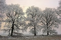 covered in frost oak trees in a field on the edge of the Forest of Rambouillet, Haute Vallee de Chevreuse Regional Natural Park, Yvelines department, ...