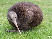 Sparky a North Island Brown Kiwi, Apteryx mantelli, with only one leg after the other had been amputated after it was caught in a gin trap. Whangarei ...
