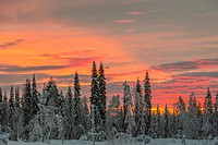 Winter forest with colorfull sky at sunset, snow on the trees, Gällivare, Swedish Lapland, Sweden.
