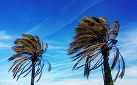 Palm trees, Caldes d´Estrac, Maresme, Barcelona province, Catalonia, Spain.