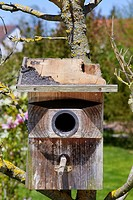 Starling nest box (Sturnus vulgaris) was looted at night by a Stone Marten or Beech Marten (Martes foina). The marten has eaten a hole into the roof a...