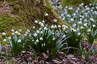 Spring snowflakes (Leucojum vernum) blooming in deciduous forest on damp and wet, nutrient-rich and moderately acid loamy and clay soils - Bavaria/Ger...
