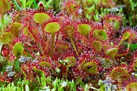 Roundleaved Sundew (Drosera rotundifolia) blooming in moory landscape - Region Hesselberg, Bavaria/Germany.