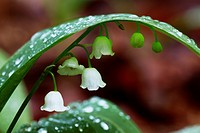 Lily of the Valley (Convallaria majalis) blooming in deciduous forest after violent rain - Bavaria/Germany