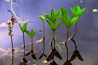Stems and petioles of Bogbean or Buckbean plant (Menyanthes trifoliata) are hollow, so the plant gets buoyancy and floats at the swamp habitat - Hesse...