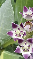 Calotropis Procera Leaves,Calotropis Procera Flowers, Giant Swallow Wort.Asclepiadaceae, Calotropis procera plays an important role in improving soil ...