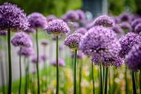 Purple flowers in Boston Commons.
