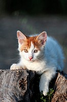 Portrait of a white and red kitten lying on a tree stub and looking at camera.