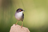 Sardinian Warbler (Sylvia melanocephala) perched on stone. Barcelona. Catalonia. Spain.