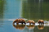 Grizzly Family Wrangell Alaska.