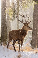 Male red deer (Cervus elaphus) in a snowy wintery forest.