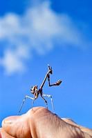 Stick insect on a hand. Blue sky. Catalonia, Spain.