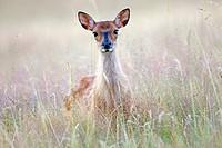 France, Haute Saone, Private park, Sika Deer (Cervus nippon), female.