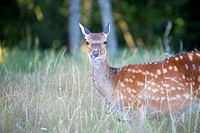 France, Haute Saone, Private park, Sika Deer (Cervus nippon), female.