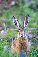 France, Haute Saone, European hare (Lepus capensis).