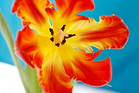 opening red parrot tulip still life - radiant new life - close up of perianth, style and anthers - nurture.