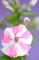 pink and white candy-striped phlox flower still life.