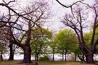 Majestic oak trees in Richmond Park, London, United Kingdom