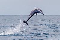 Sri Lanka, Northwest Coast of Sri Lanka, Kalpitiya, Spinner dolphin (Stenella longirostris).