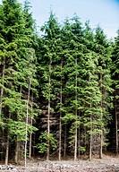 Tall Treeline in Rossmore near Carlow in Southern Ireland.