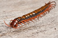 Chinese Red Head Centipede aka Giant Centipede, Jungle Centipede, Orange Legged Centipede, Red Headed Centipede, Vietnamese Centipede (Scolopendra sub...