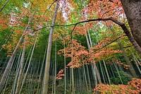 Autumn leaves and bamboo forest, Arashiyama, Kyoto, Japan.