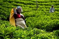 Tea picking, Watawala area, near Hatton, Central Province, Sri Lanka.